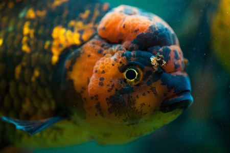 Oranda fish close up. photo