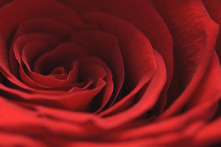 velvety: Close up of velvety rose flower