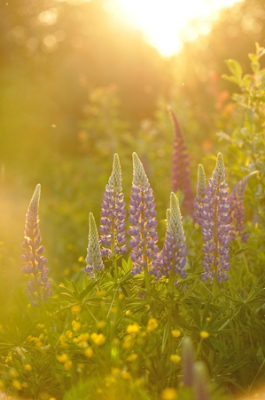 evenings: Lupin flowers in evenings lights of sun. Stock Photo
