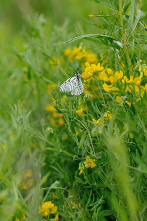 close up of black-veined white butterfly on flowery  field background photo
