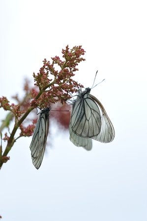 Close up photograph of black-veined white butterflies on sky background photo