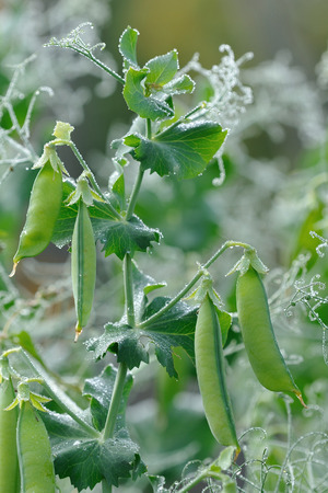 Pea pods close up covered with dew drops photo