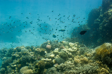 sinay: Underwater coral reef. Red Sea. South Sinay.