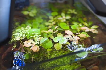 anubias: close up de algas acuario