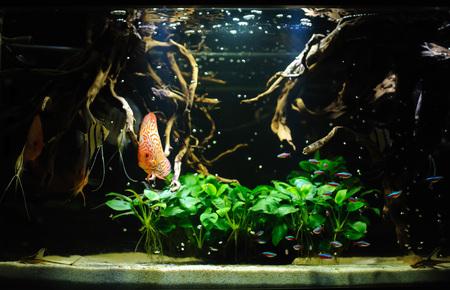 scalare: Aquarium fishes in artificial isotope