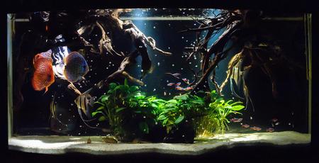 diskus: Aquarium fishes in artificial isotope