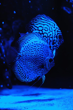 aquarium fishes, glowing with light blue lamp. photo