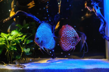 diskus: aquarium fishes, glowing with light blue lamp. Stock Photo