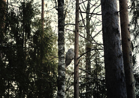 primeval: owl in the twilight in forest