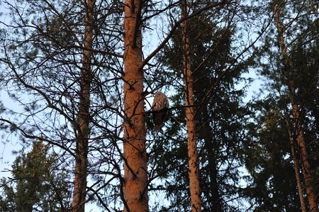 nocturnal animal: owl in the twilight in forest