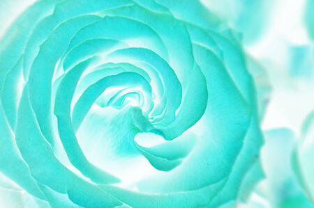 abstract floral: Close up of faded roses bouquet. Acid blue. Abstract Stock Photo