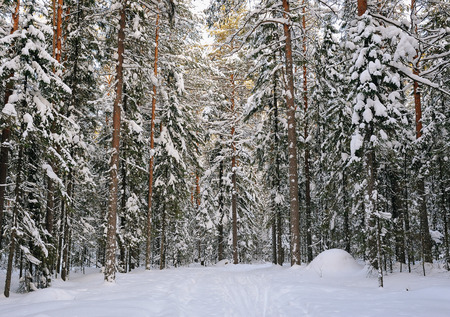 wildwood: ski path in the snow covered wildwood. Landscape view. Stock Photo
