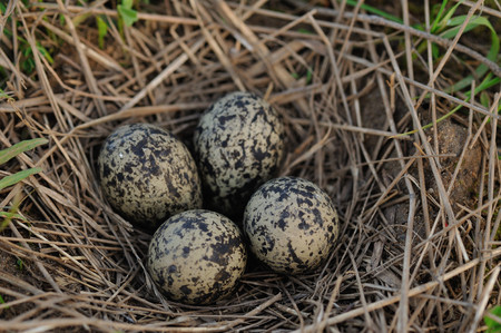Pewits eggs in the nest close up.