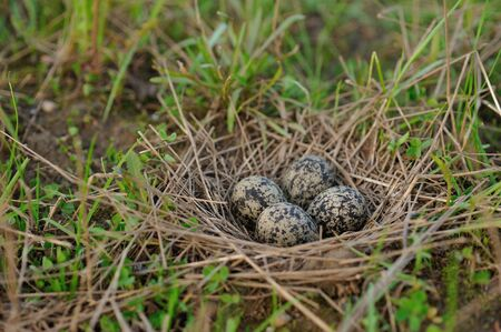 birdhousenest: Pewits eggs in the nest close up.