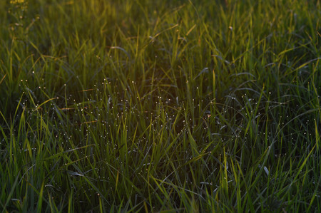 evenings: Dew drops on fresh green grass on the evenings field.