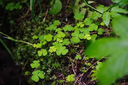 acetosella: Oxalis en el medio natural.