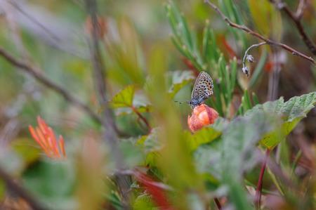 rubus chamaemorus: Plata-tachonado mariposa azul sentado en mora de los pantanos. Foto de archivo