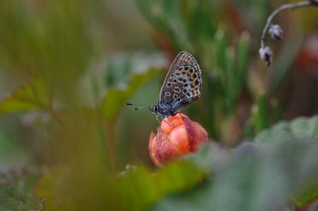 chicout�: Silver-studded blue butterfly sitting on cloudberry.