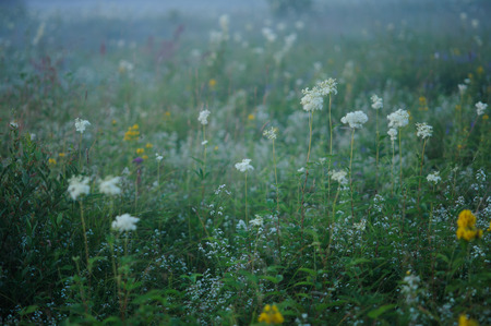 evenings: Close up of  meadow-sweet by evenings mist Stock Photo