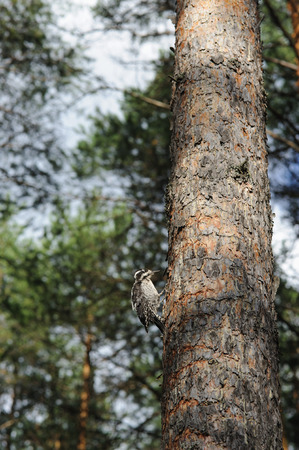 Woodpecker in the pine forest.