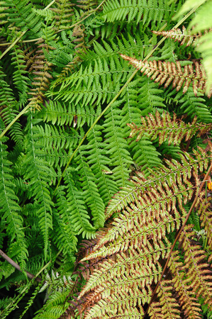 dying: Close up background. Fresh green and dying yellow fern plants.