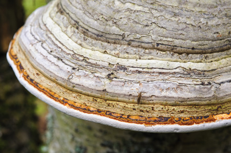 Shelf fungus close up on the birch tree in forest.