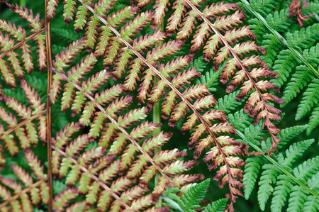 death and dying: Close up . Fresh green and dying yellow fern plants. Stock Photo