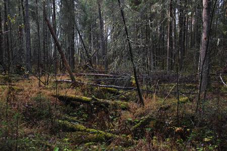 the taiga: wind-fallen trees deep in taiga