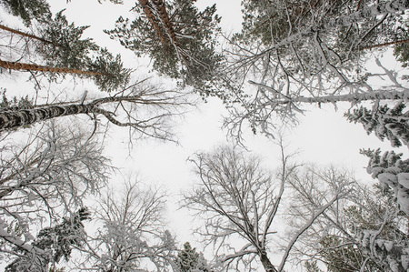 rural scene: Forest trees in beginning of winter. View to the top. Stock Photo