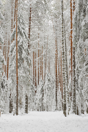 winter trees: Landscape. Pine-tree forest in beginning of winter
