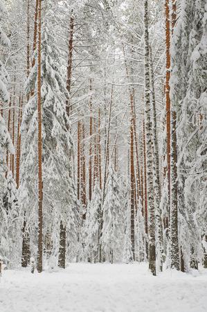 Landscape. Pine-tree forest in beginning of winter