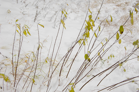 neige qui tombe: Bird-cherry bush after the first snow falling