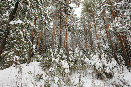 pinetree: Landscape. Pine-tree forest in beginning of winter