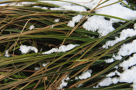 coldness: Grass under the first snow.