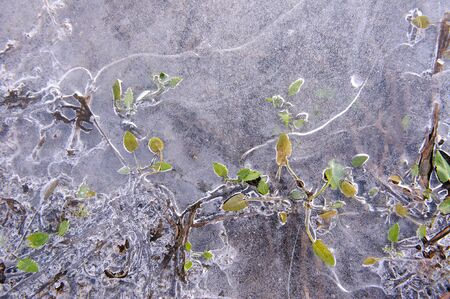 coldness: Plants in frozen thin crust of ice.