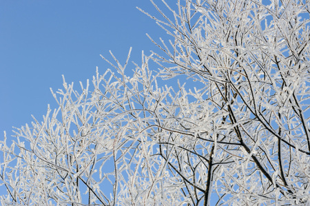 broadleaved tree: Willow trees with hoar frost.