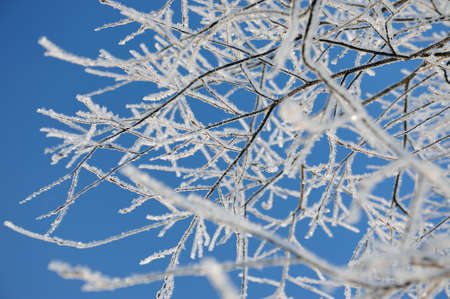 hoar frost: Willow trees with hoar frost.