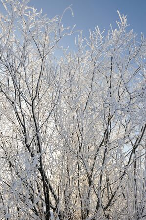 hoar: Willow trees with hoar frost.