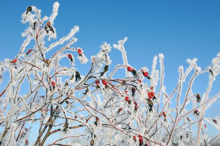 hoarfrost: Dogrose covered with hoarfrost Stock Photo