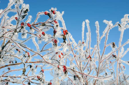 frostbitten: Dogrose covered with hoarfrost Stock Photo