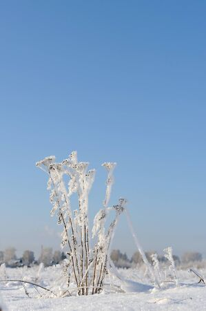 hoarfrost: Tansy covered by hoarfrost