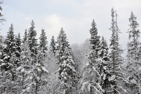 the taiga: Taiga in early winter with snow and hoarfrost.