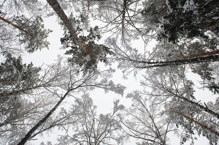 Forest trees in winter. View to the top.