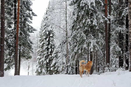 lonelyness: Redhead stray dog in the woods Stock Photo