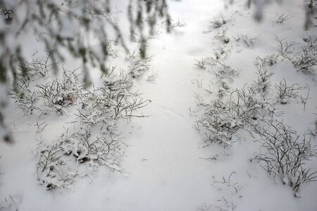 blueberry bushes: The blueberry bushes are covered from the snow under tall pine trees