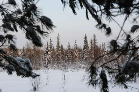 snow covered forest: wintery snow covered forest. view through pine branches.