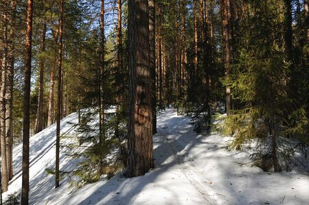 the taiga: Spring view of taiga forest Stock Photo