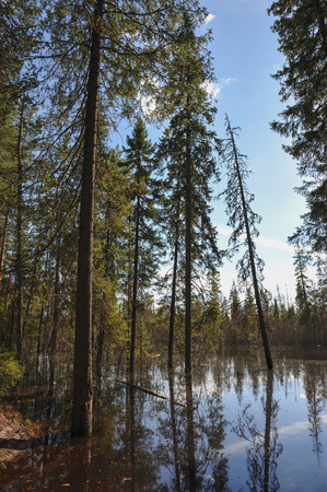 the taiga: Flood in the taiga forest