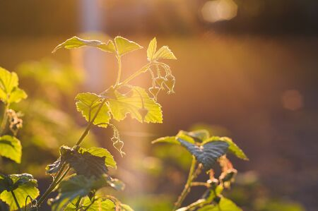 ovaries: Young ovaries of raspberry in sunset light