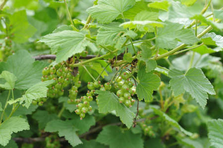 ovaries: Young ovaries of red currant.